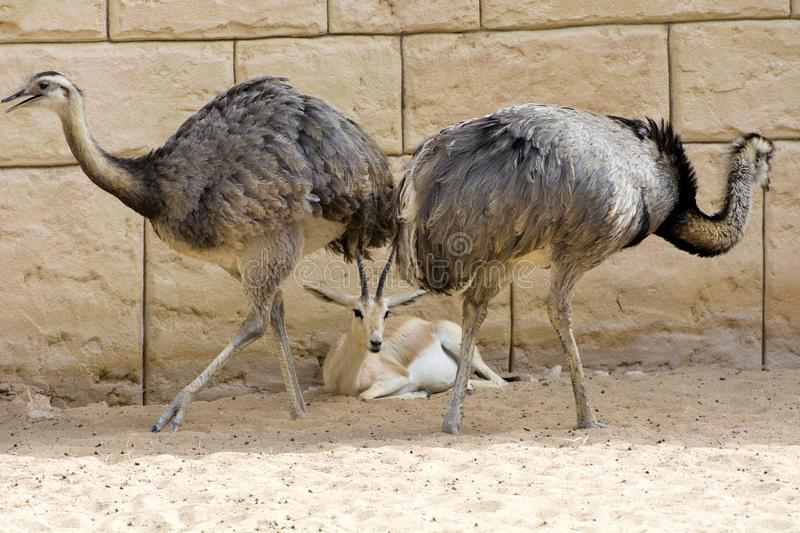 The deer is among the ostriches stock images