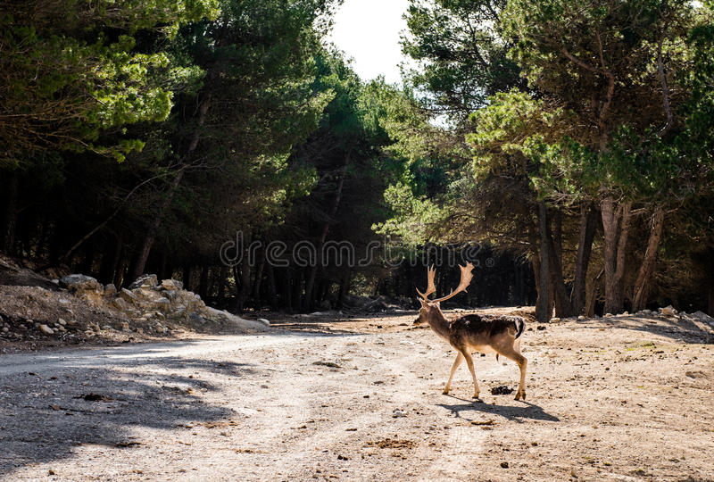 Deer outdoors royalty free stock photography