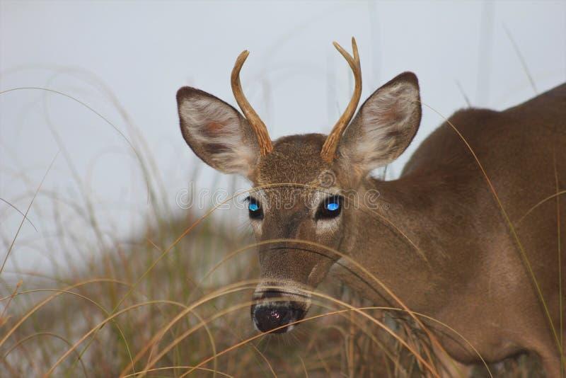 Deer panama city beach florida gulf of Mexico royalty free stock photos