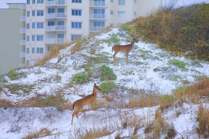 Panama City Beach Gulf of Mexico Doe near sunset picturesque Deer stock photos