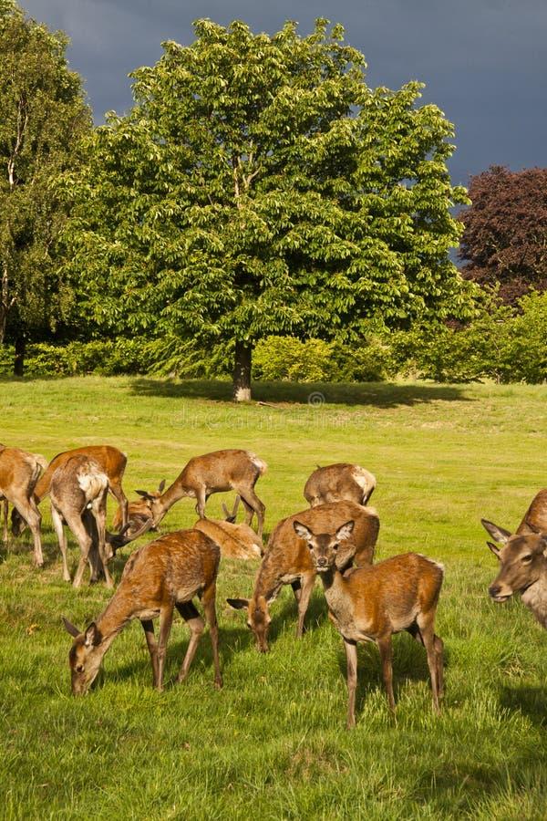 Deer park royalty free stock photos
