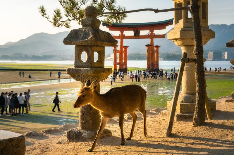 Deer in the park at Miyajima island, with the famous Torii Gate in background, Japan. Sika Deer Cervus nippon in the park at Miyajima Itsukushima island, with royalty free stock image