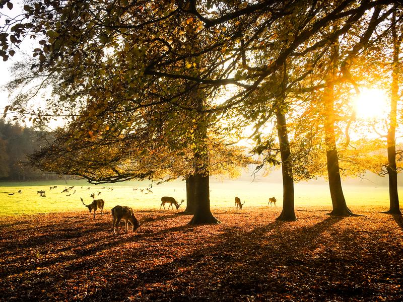 Deer park at the Royal Palace in Apeldoorn, the Netherlands. Backlit photo of a herd of deer enjoying a beautyful autumn sunset in the park at the Royal Palace royalty free stock image