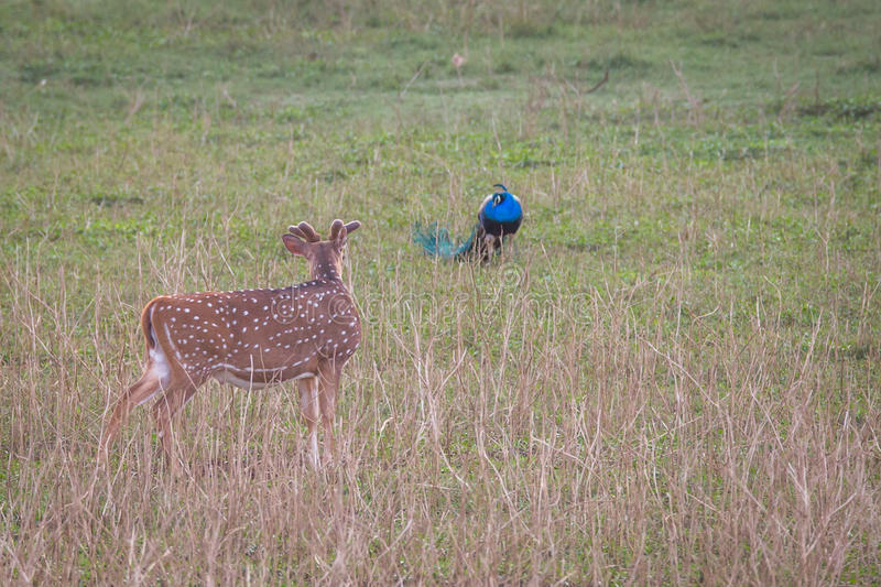 Deer and Peacock. Canon 6D 450mm ISO 800 1/400 f5.6 Spotted deer seen interacting with a peacock in western ghats forests of India stock image