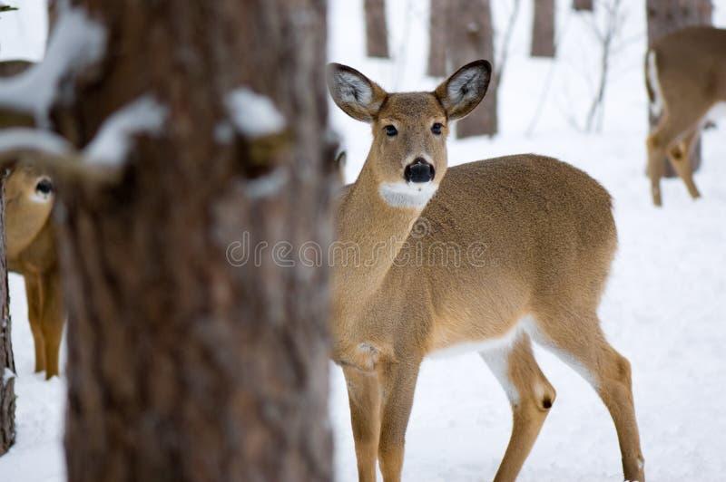 deer peeking στοκ εικόνες