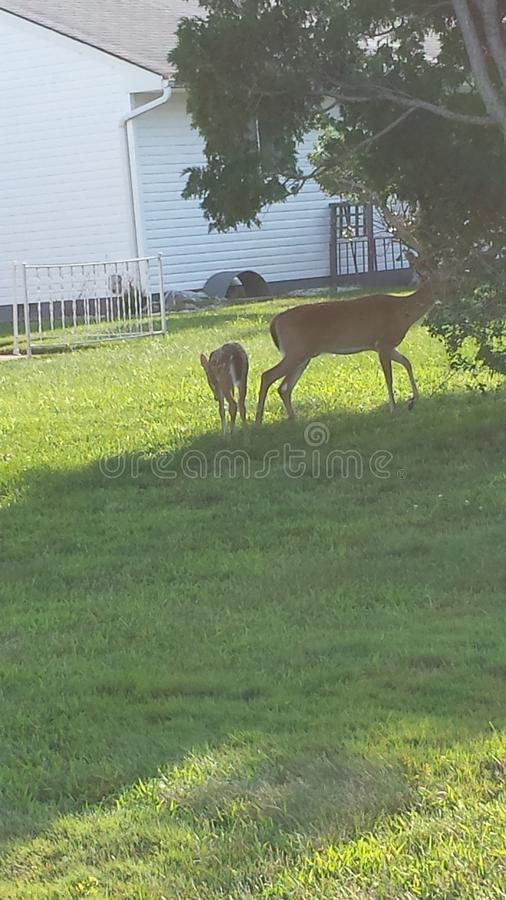 Deer in the people house in new Jersey stock image
