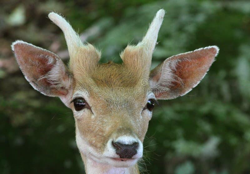 Download Deer Portrait stock photo. Image of hunting, wilderness - 10514248