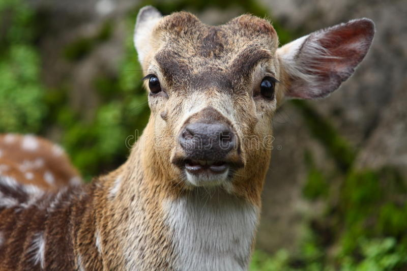 Download Deer Portrait stock image. Image of outdoor, cute, outside - 14769125