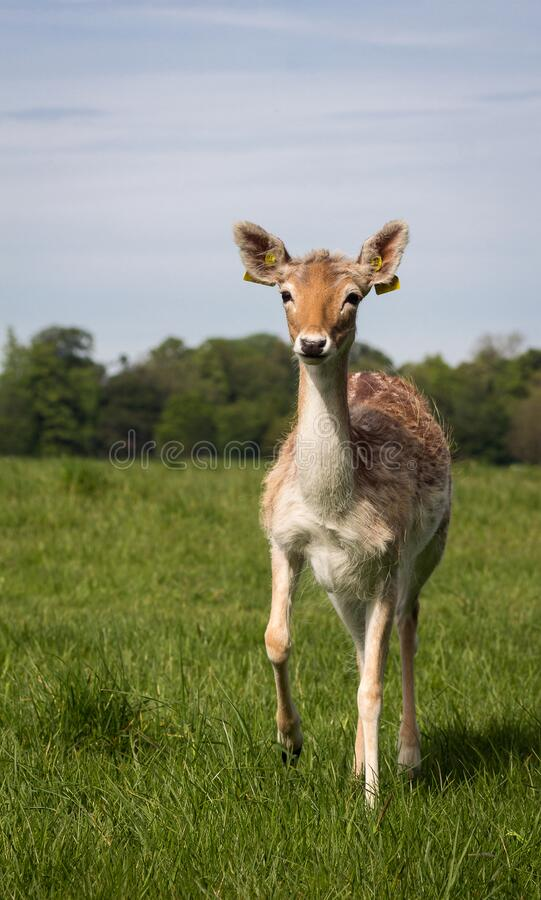 Deer portrait at Phoenix Park, Dublin, Ireland. Deer portrait at Phoenix Park on a sunny day, Dublin, Ireland, face, fields, grass, nature, animal royalty free stock images