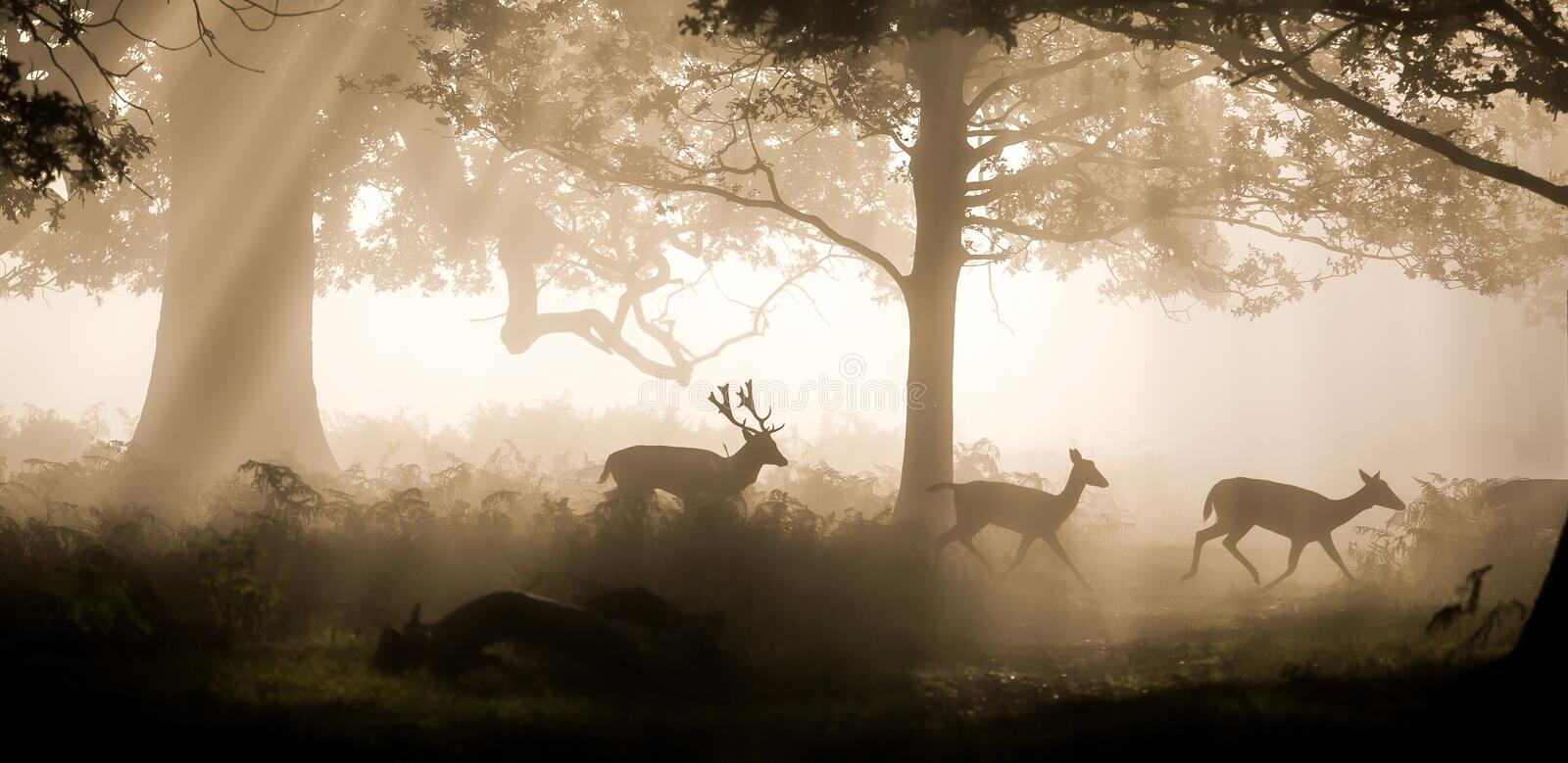 Deer raiding. Three wild deer walking through an early morning mist. Tranquil and idyllic countryside scene. Early morning mist stock images