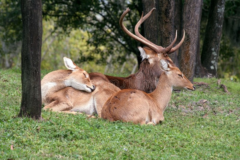 Download Deer at rest stock image. Image of environment, animals - 1962739