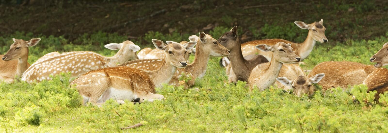 Deer Resting Royalty Free Stock Photo