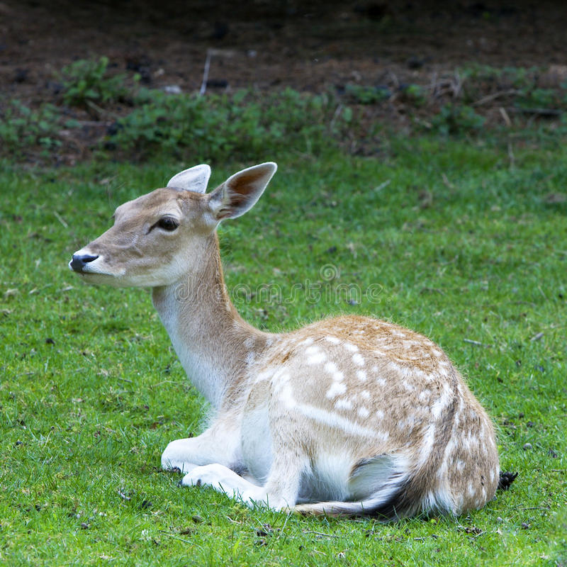 Download Deer resting in field stock photo. Image of countryside - 25790396