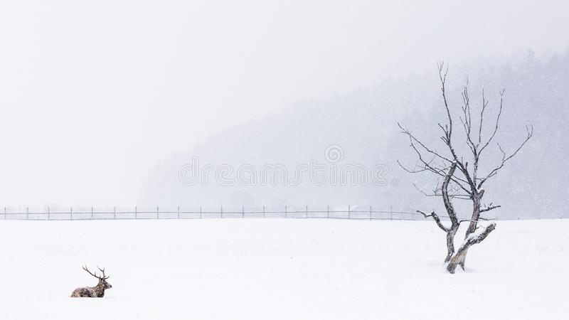 Deer resting in the snow in winter season with beautiful landscape in background.  stock image