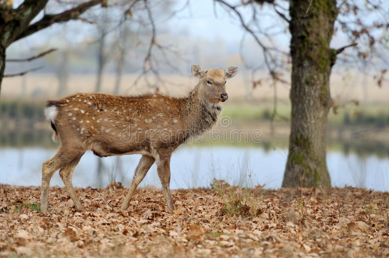 Deer in river. Beautiful deer running through the autumn forest stock photo