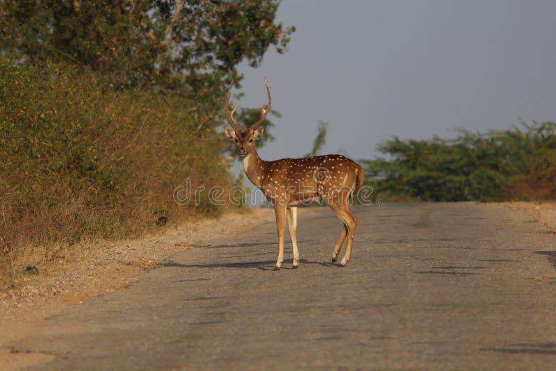 Deer. In road royalty free stock photo