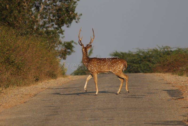 Deer. In road stock photography