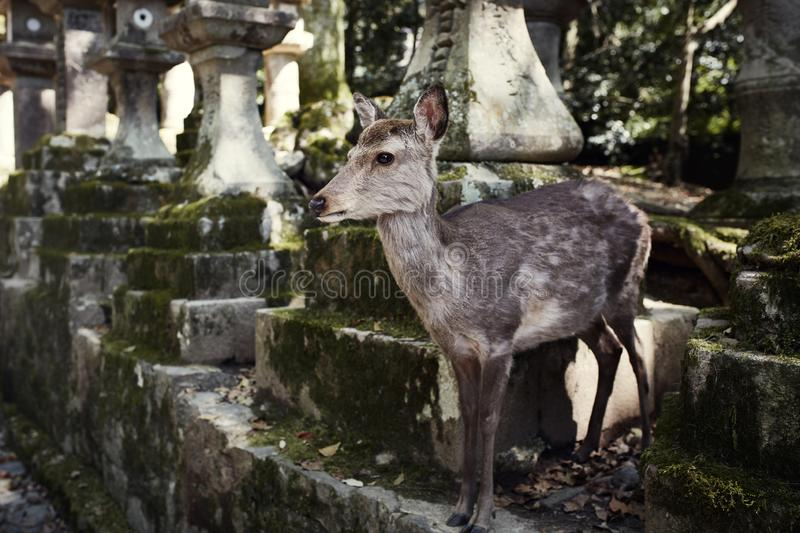 Wild, free roaming deer in Nara Japan. Deer roaming free amongst the parks, temples and forests of Nara, Japan stock photos