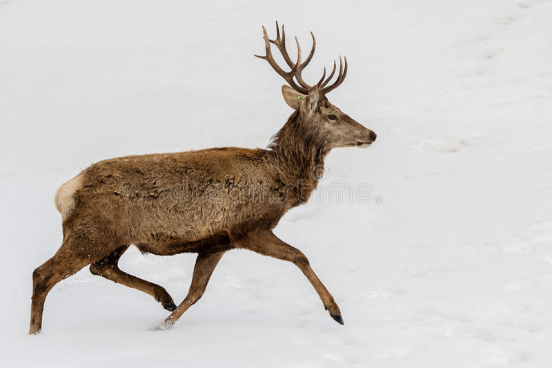 Deer running on the snow in christmas time royalty free stock photography