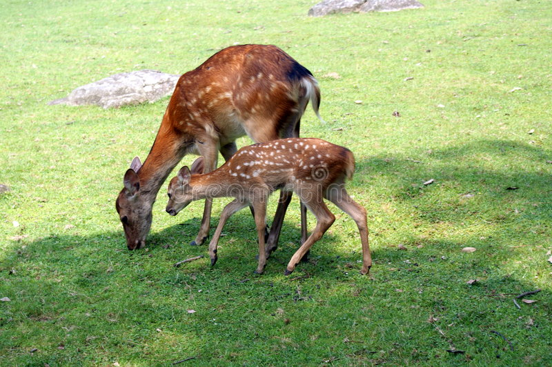 Download Deer's lunch time stock photo. Image of natural, japan - 6712220