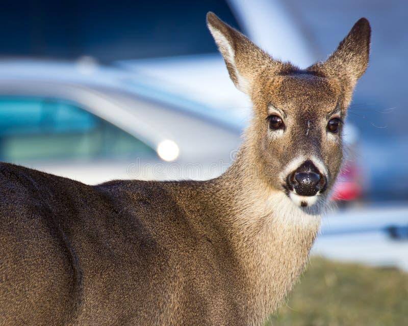 Deer saying, don't follow me to the car! stock photography