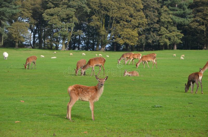 Deer and seep feeding at tatton park in cheshire. England, united kingdom royalty free stock photography