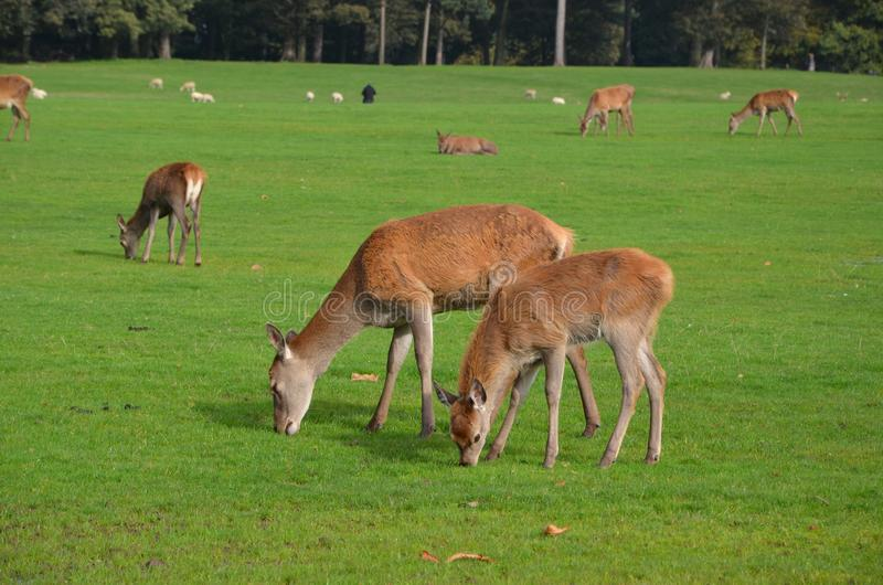 Deer and seep feeding at tatton park in cheshire. England, united kingdom stock image