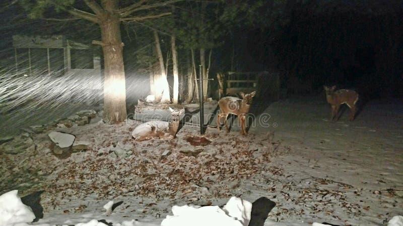 Deer sighting royalty free stock photo