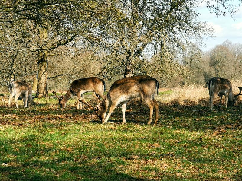 Deer sighting in the sunset at Richmond Park, London royalty free stock photography