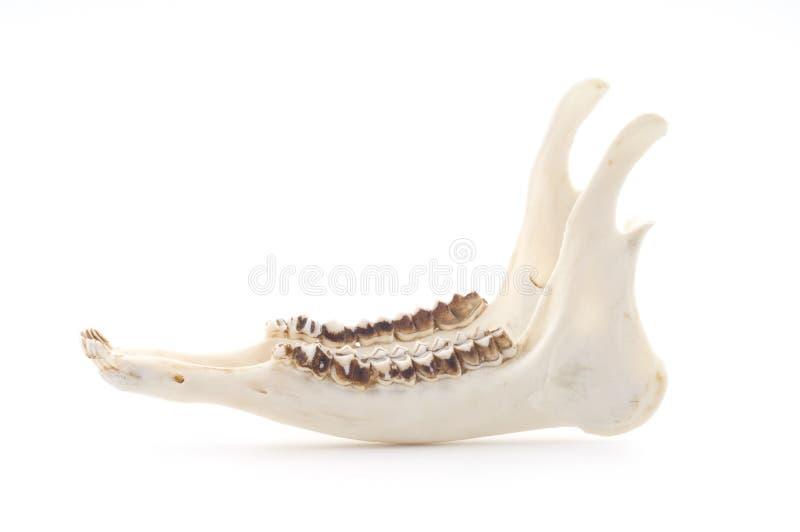 Deer skeletal royalty free stock image
