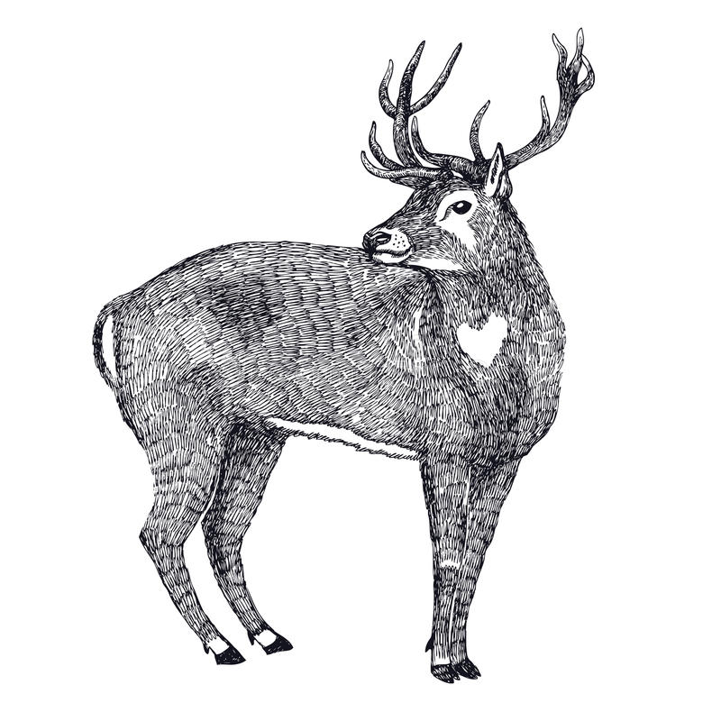 Deer Sketch style Hand drawing. Vector stock illustration