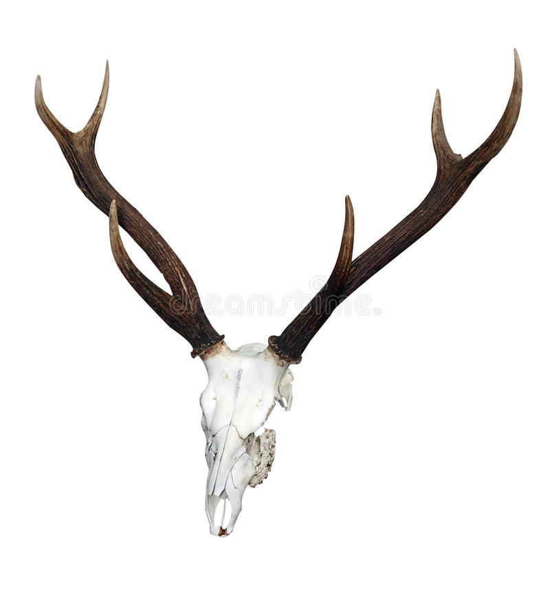 Download Deer Skull With 6 Point Antlers Stock Image - Image: 12086675