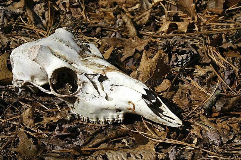 Deer Skull Found on a Forest Trail. This weathered clean deer skull was found on a forest trail, its final resting place a bed of brown leaves. Upper mandible stock photos