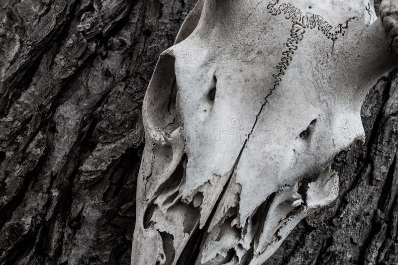 Deer skull fractured hanging on a tree. A fractured, splintered deer skull hanging on a tree with detailed tree bark. Good for hunting and rifle magazines stock photography