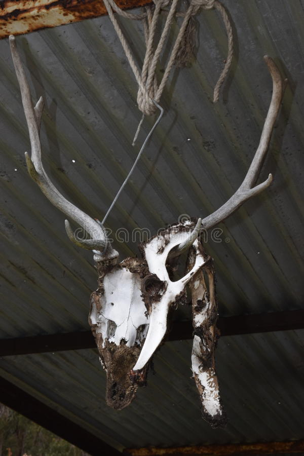 Deer skull horns stock photography