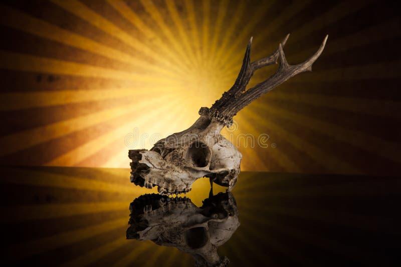 Deer skull stock photos