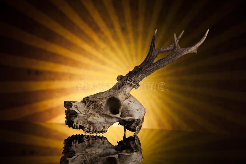 Deer skull royalty free stock photography