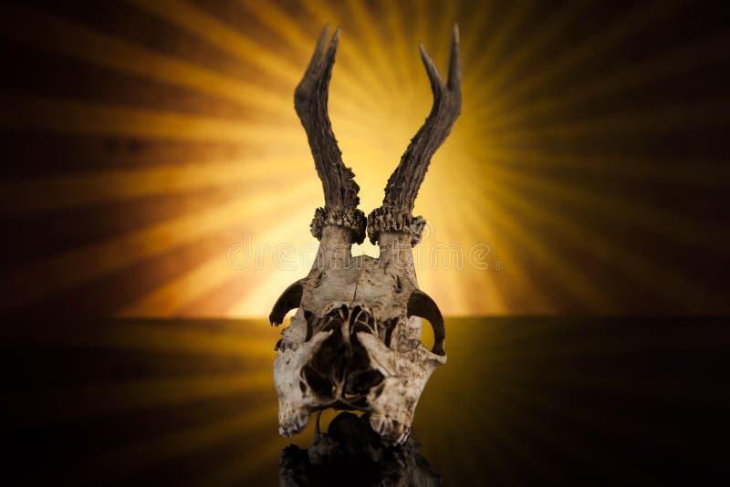 Deer skull royalty free stock image