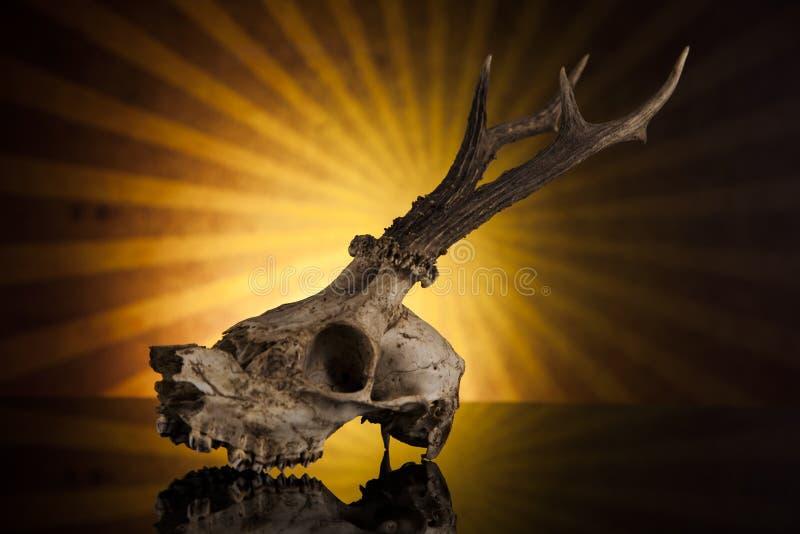 Deer skull royalty free stock images