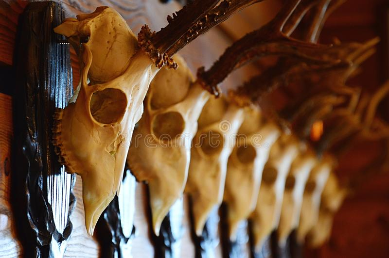 Deer skull trophys in a line hanged on wall, each placed on wooden decorative pedestal stock photos