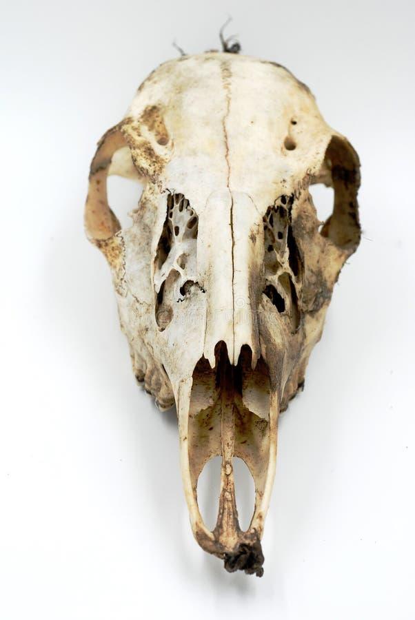 Deer Skull on White royalty free stock images