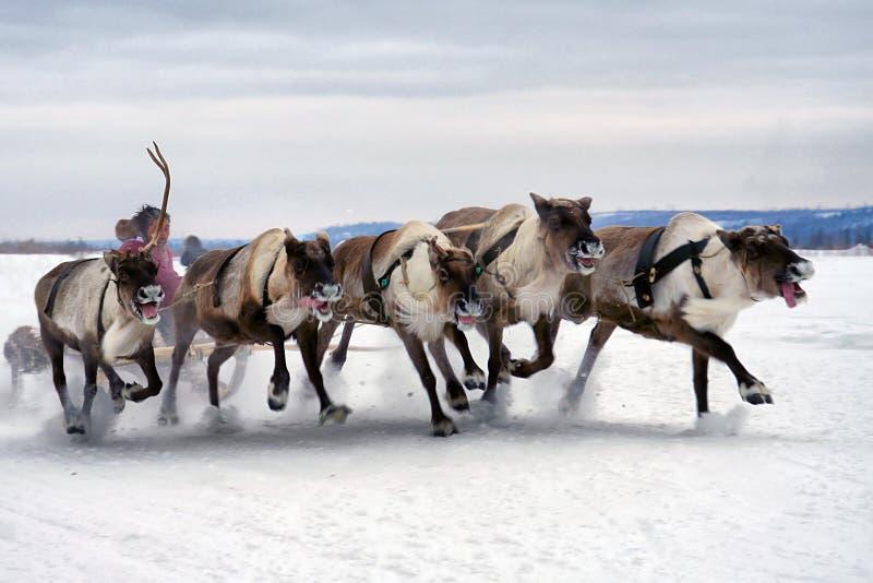 Deer sledding stock photo