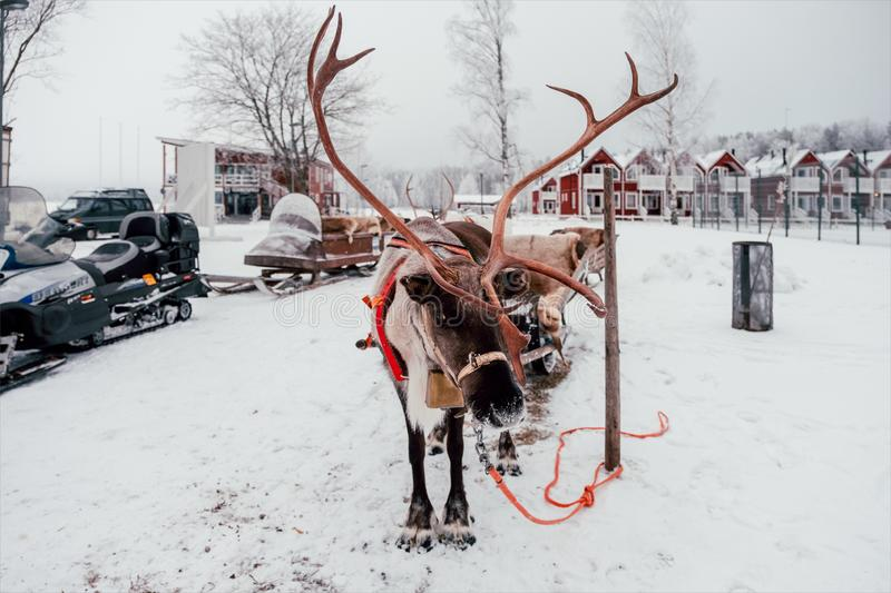 Deer and sledge in Finland stock photo