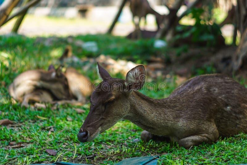 Deer sleeping on the ground in the garden. Mammal, wildlife, antler, horn, cervus, male, eye, horned, hunting, look, head, herd, portrait, noble, alert, buck stock photo