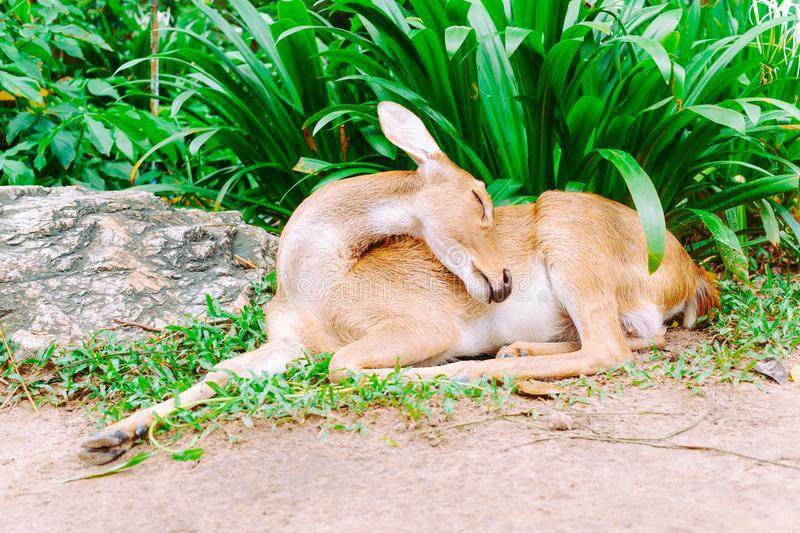 Deer sleeping on the ground in the public park stock images