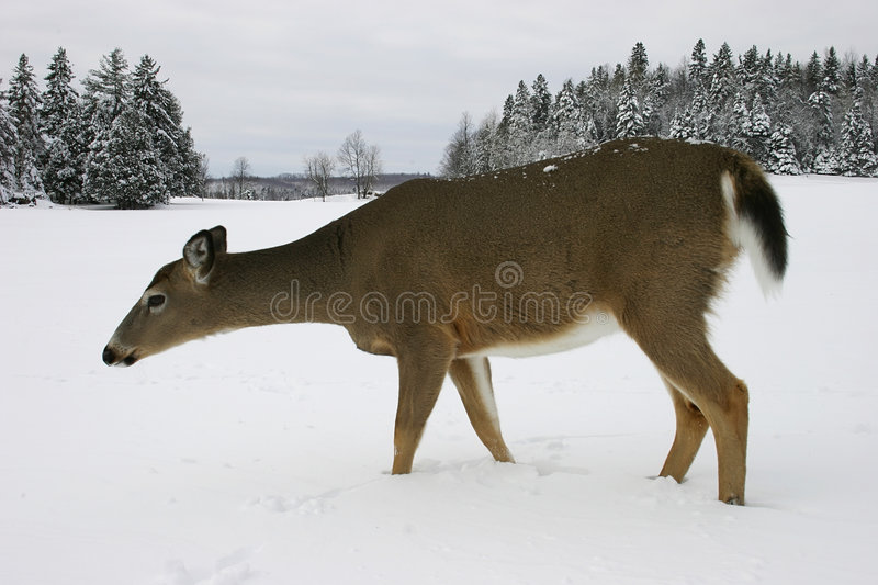 Download Deer in the Snow 2 stock image. Image of mammal, wildlife - 470169