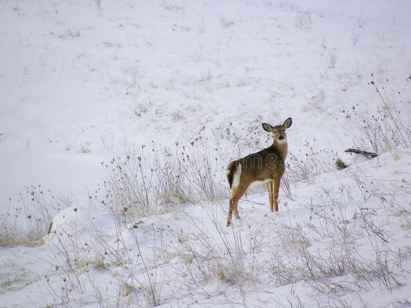 Deer in snow. A deer stands on a snow covered hill on a winter day, with a snowy field in soft focus in the background stock photography