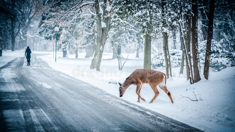 Deer On Snowy Forest Road Free Public Domain Cc0 Image