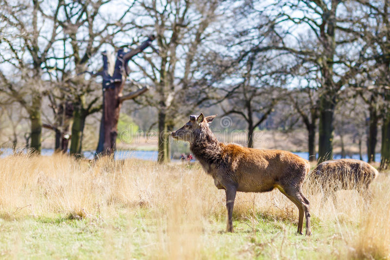 Deer in spring in Richmond park. London royalty free stock photos