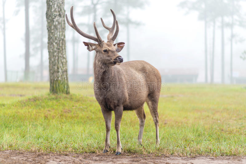 Deer stag in Autumn Fall forest.  royalty free stock images